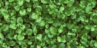 Grön bakgrund av unga sidor royaltyfri foto