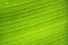 Grön bakgrund för bananbladtextur royaltyfria bilder