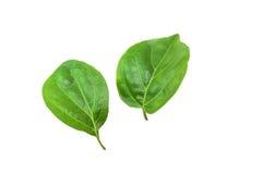 Grön bakgrund för bladmakrotextur Royaltyfri Foto