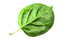 Grön bakgrund för bladmakrotextur Royaltyfri Fotografi