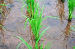 Grön bakgrund för jordbruk för risträdshow Arkivbild
