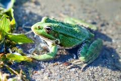 Grön bakgrund för kusten för floden för den naturliga livsmiljön för träskgrodan, kamouflage pricker den amfibiska Pelophylax rid Fotografering för Bildbyråer