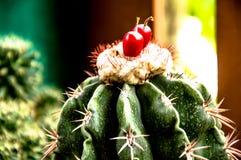 Grön bakgrund för natur, cactusClose-upkaktus, Royaltyfri Bild