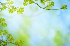 Grön bakgrund för vårsäsong med filialer, sidor, knoppar och bokeh på blå himmel royaltyfri fotografi