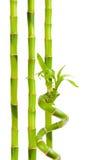 Grön bambu Royaltyfri Bild