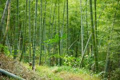 Grön bambu Forest In China Royaltyfria Foton