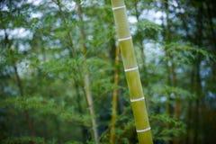 Grön bambu Forest In China Arkivbild