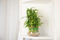 Grön bambu i exponeringsglasbunke på hylla royaltyfria foton