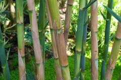 Grön bambudunge Arkivfoton