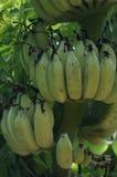 Grön banan Fotografering för Bildbyråer