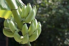 Grön banan på trädet med bokehbakgrund Royaltyfri Bild