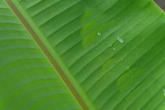 Grön bananbladdiagonal med vattendroppdetaljen Arkivbilder