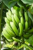 Grön banangrupp Fotografering för Bildbyråer