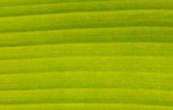 Grön bananleaf arkivbild