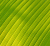 Grön bananleaf royaltyfri foto