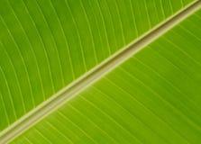 Grön bananleafe Royaltyfri Fotografi