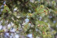 Grön banch av granträdet Fotografering för Bildbyråer