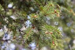 Grön banch av granträdet Royaltyfria Foton