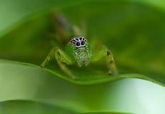 grön banhoppningspindel för kvinnlig Fotografering för Bildbyråer