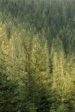 Grön barrskog som tänds av solljus arkivbild