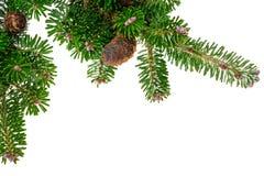 Grön barrträds- filial Royaltyfria Foton