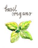 Grön basilika för vattenfärg Royaltyfri Illustrationer