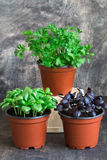 Grön basilika, röd basilika, persilja Royaltyfria Bilder