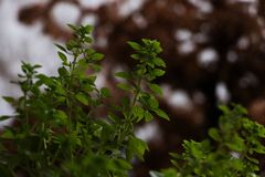 Grön basilikaväxt med ut ur små växande sidor för fokusbruntbakgrund royaltyfria foton