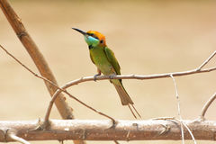 Grön Bee-eater bieatergreen little royaltyfri foto