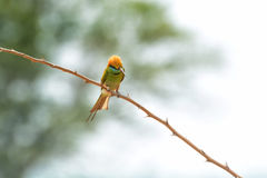 Grön Bee-eater bieatergreen little royaltyfri fotografi