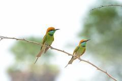 Grön Bee-eater bieatergreen little arkivfoto