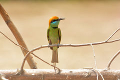 Grön Bee-eater bieatergreen little royaltyfria bilder