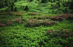 Grön bergäng i franska fjällängar Arkivbilder