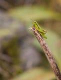 Grön berggräshoppa Royaltyfria Bilder