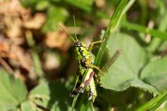 Grön berggräshoppaMiramella alpina Royaltyfri Fotografi