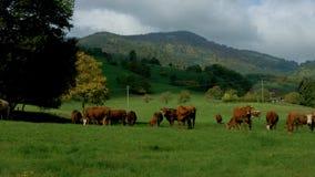 Grön betesmark med kor i Alsace, Frankrike stock video