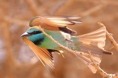 Grön bieater Arkivfoto