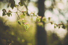 Grön björkfilial i vårskog arkivfoton