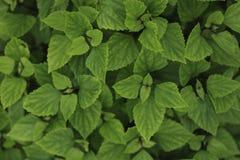 Grön bladbakgrund Royaltyfria Bilder