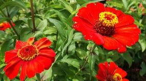 Grön bladbakgrund för härlig röd krisan flowerswith arkivbilder