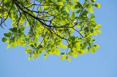 GRÖN BLADBAKGRUND och blå himmel Royaltyfria Foton