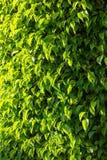 Grön bladbakgrund, sidor med ljust solsken arkivfoto