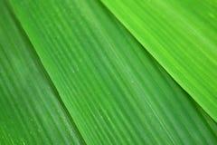 Grön bladbambu är naturabstrakt begreppbakgrund Royaltyfri Bild
