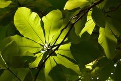 Grön bladbokträd royaltyfri foto