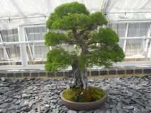Grön bladbonsaiväxt arkivbild