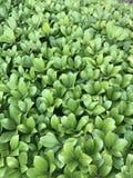 Grön bladbuske Royaltyfria Bilder