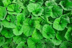 Grön bladfoilagetextur Arkivfoton