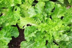 Grön bladgrönsallat, bladbakgrund royaltyfri bild