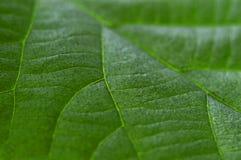 Grön bladkiwi Makro Arkivfoto