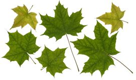 Grön bladlönn Arkivfoto